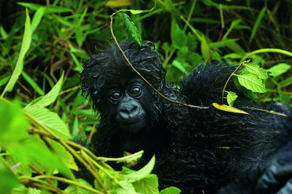 "A young mountain gorilla named Urumuli, from Rwanda's Parc National des Volcans, sports rain-soaked hair. From ""Mountain Gorillas,"" by Gene Eckhart and Annette Lanjouw, published in 2008 by The Johns Hopkins University Press. Photos reproduced by permission of the photographer geneeckhart.com and the publisher. All rights reserved."