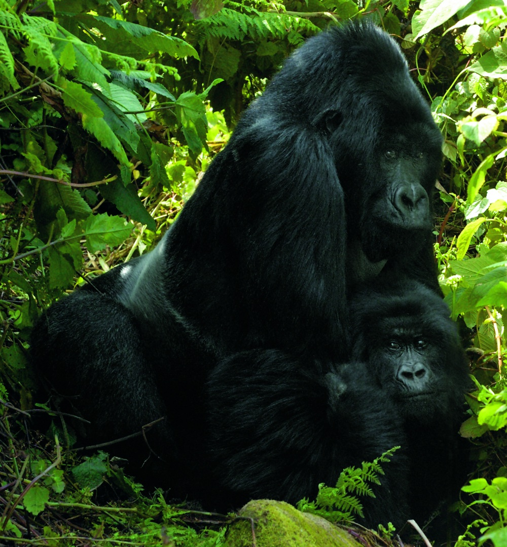 A silverback named Agashya mates with female Icyuzuzo in Rwanda's Parc National des Volcans. From Mountain Gorillas, by Gene Eckhart and Annette Lanjouw, published in 2008 by The Johns Hopkins University Press. Photos reproduced by permission of the photographer geneeckhart.com and the publisher. All rights reserved.