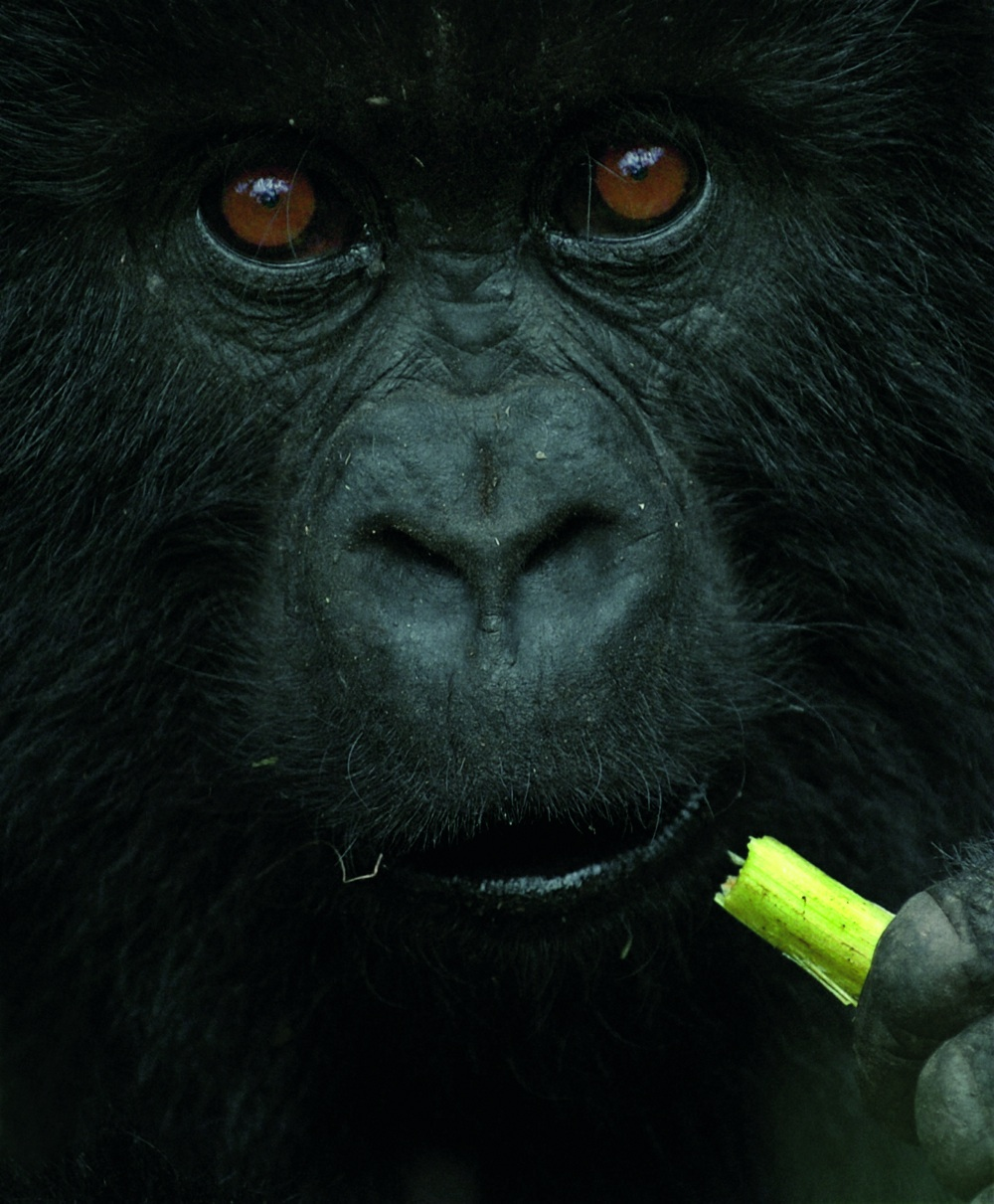 A juvenile mountain gorilla named Shirimpumu, from Rwanda's Parc National des Volcans, chews on wild mountain celery. From Mountain Gorillas, by Gene Eckhart and Annette Lanjouw, published in 2008 by The Johns Hopkins University Press. Photos reproduced by permission of the photographer geneeckhart.com and the publisher. All rights reserved.