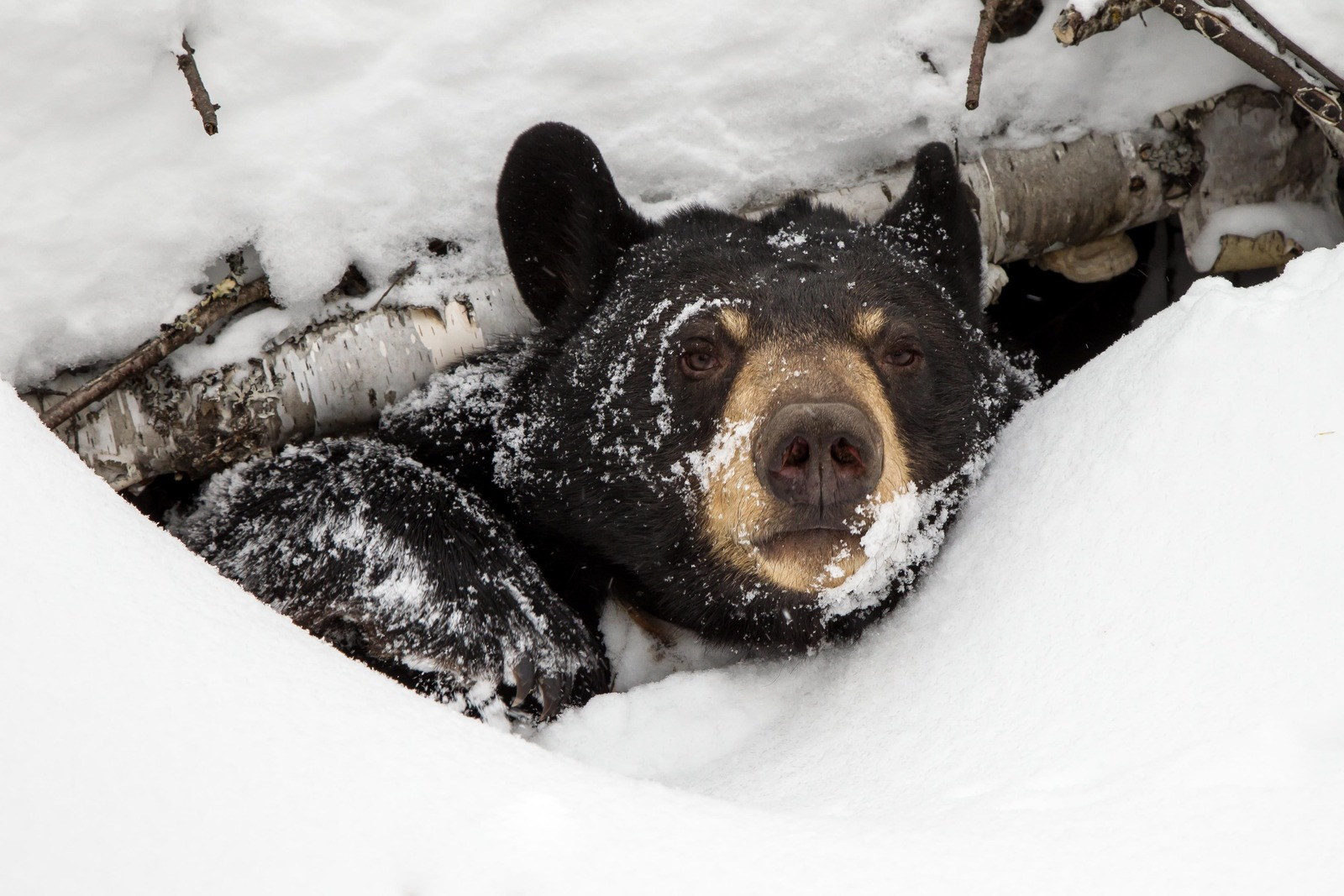 This image, featuring a bear named Lily, is the winner of SciFri's 2013 Winter Nature Photo Contest. Photo by Jim Stroner