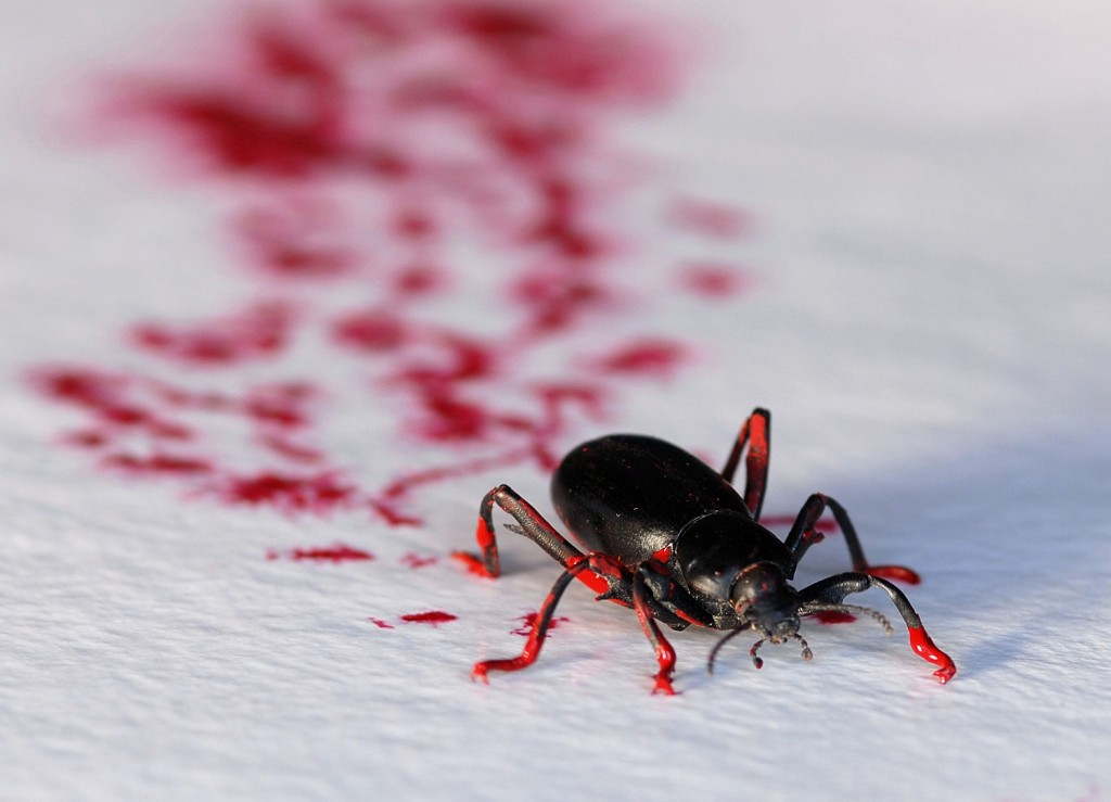 A darkling beetle shows how it's done. Courtesy of Steven R. Kutcher