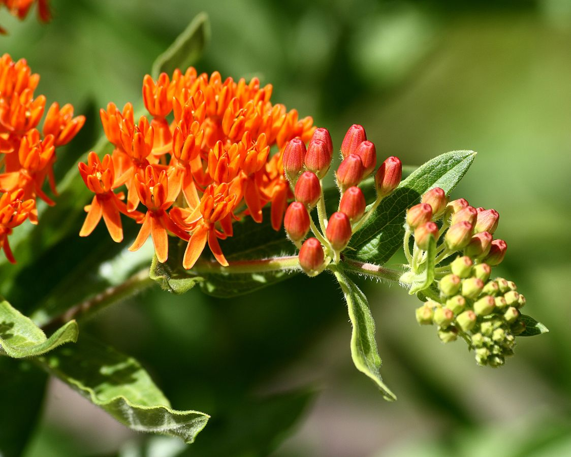 """Asclepias tuberosa"" in Farmington, Connecticut, by Ragesoss/Wikimedia Commons/CC BY-SA 3.0"