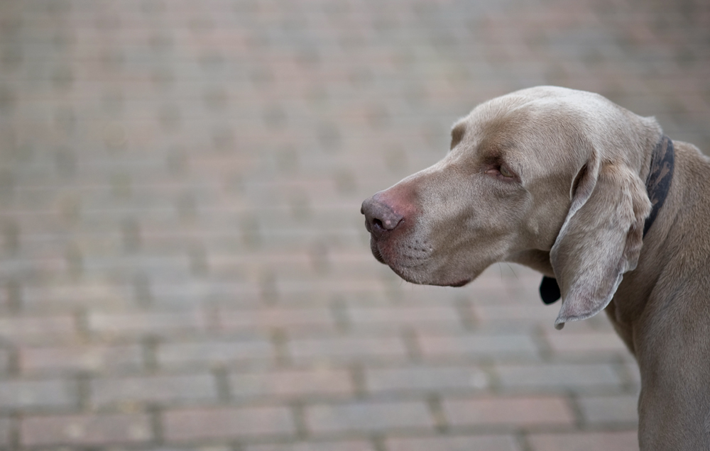 A Weimaraner. Photo by Steve Rideout Photography/flickr/CC BY-NC-SA 2.0