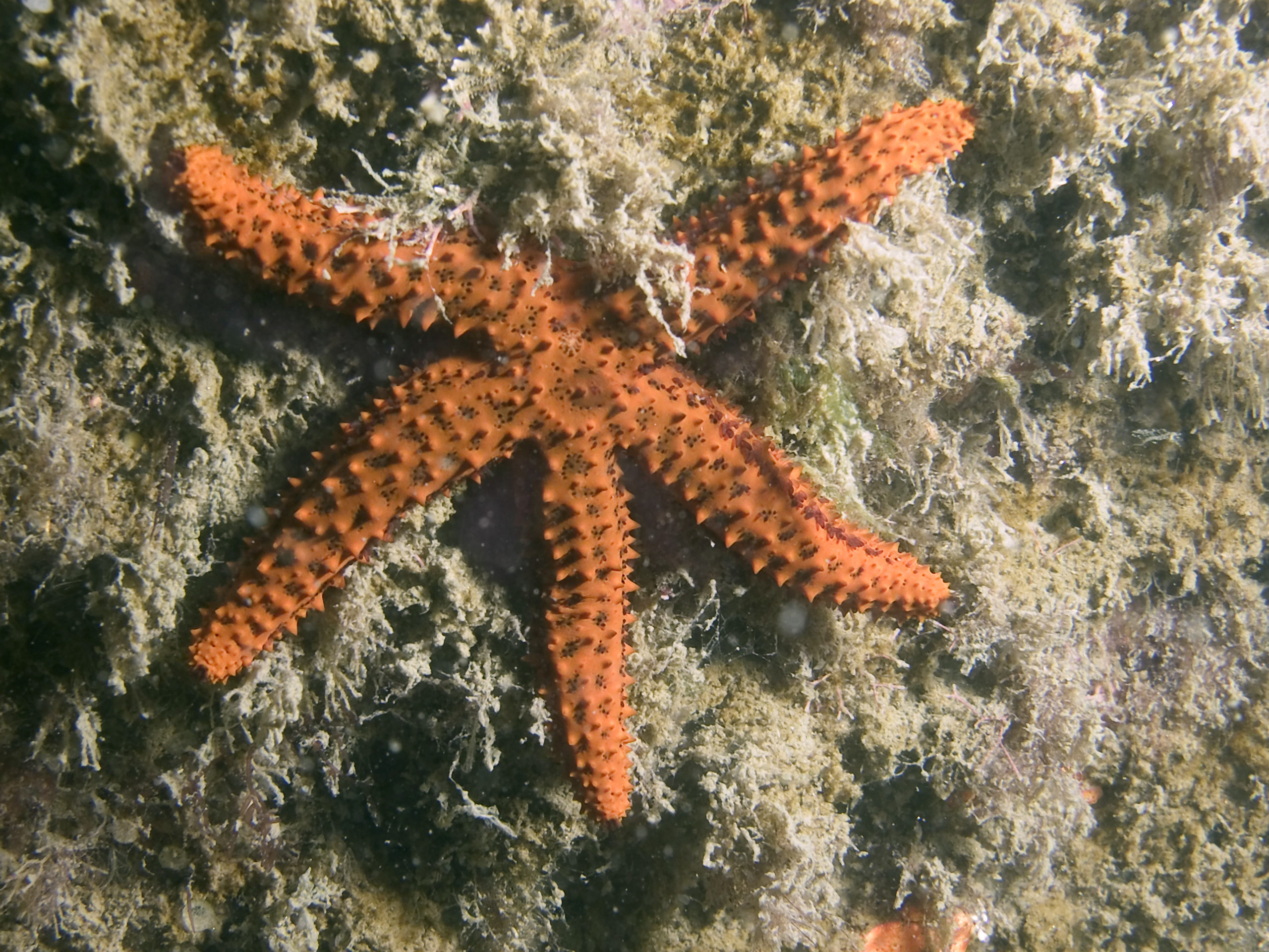 """An adult """"Echinaster brasiliensis."""" Photo by A. Migotto/Center for Marine Biology, University of São Paulo"""