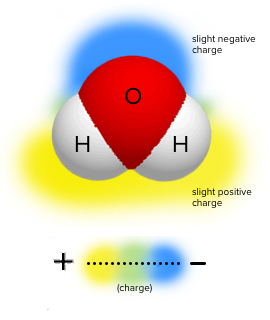 The electronegative oxygen in a water molecule pulls electrons away from the two hydrogens, creating an uneven distribution of charge within the molecule.