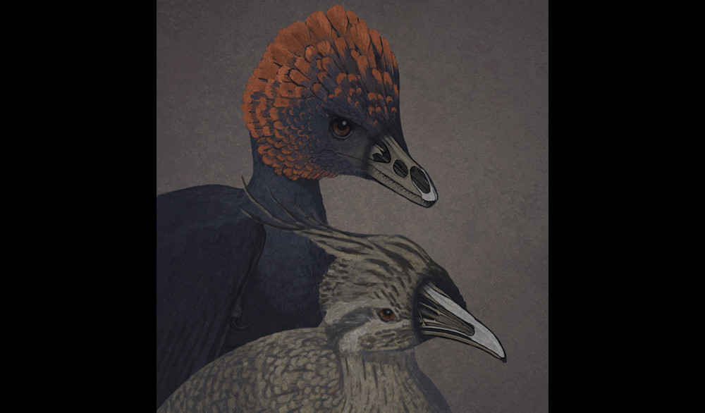 An artist's rendition of the non-avian dinosaur Anchiornis and a tinamou, a primitive modern bird, depicted with transparent snouts.
