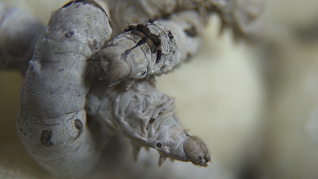 Dissect A Silk Worm Cocoon To Study Metamorphosis