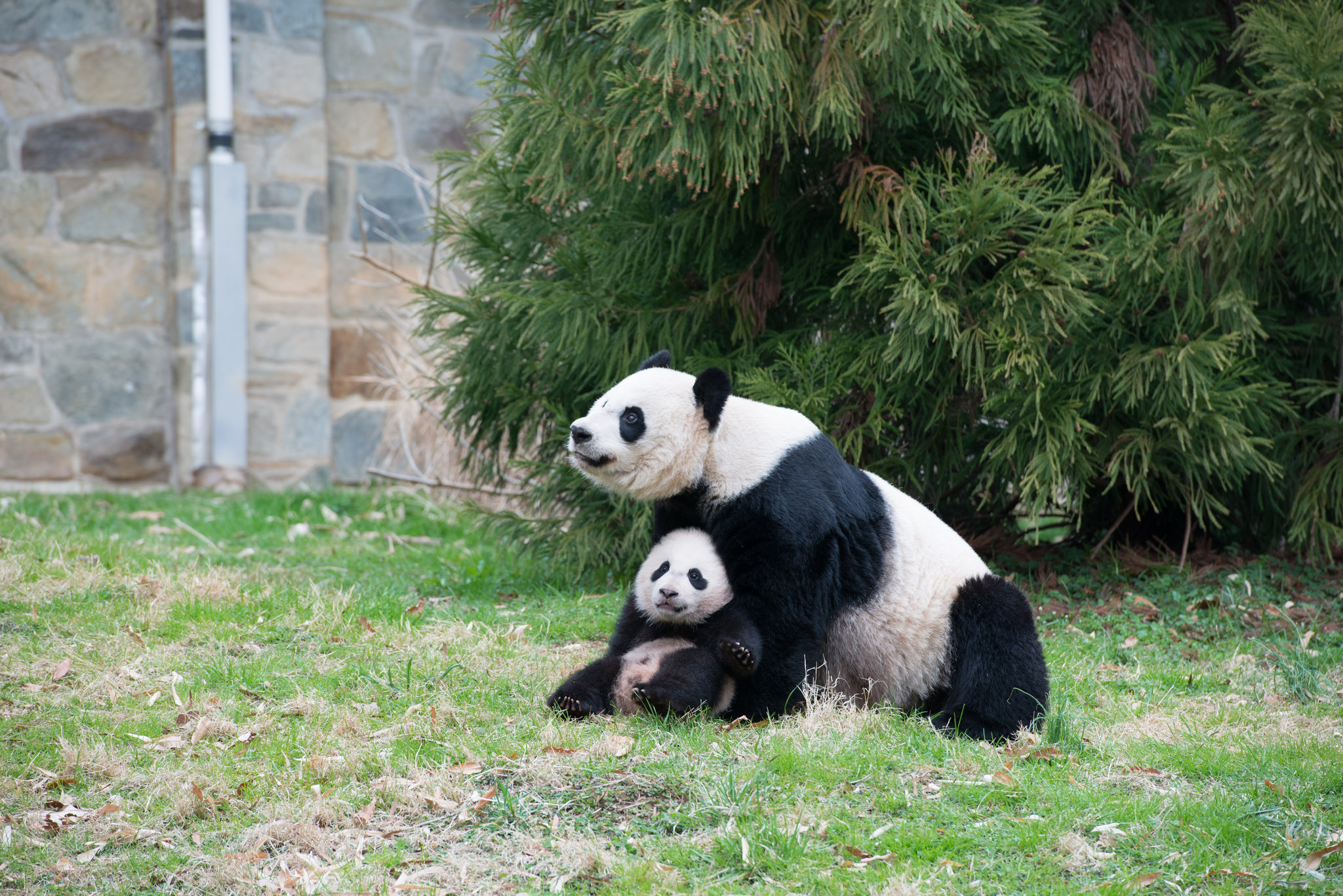 Mei Xiang with daughter Bao Bao in April 2014 at the National Zoo. Photo by Abby Wood, Smithsonian's National Zoo