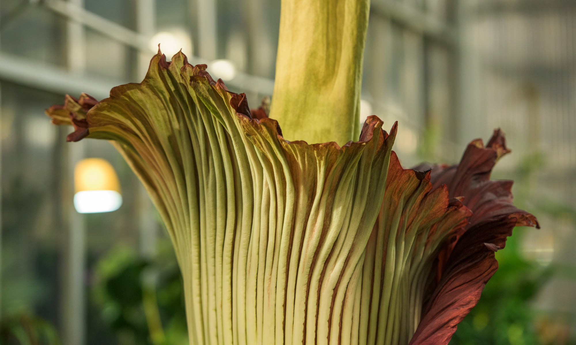 Corpse Flower Blooms at Denver Botanic Garden