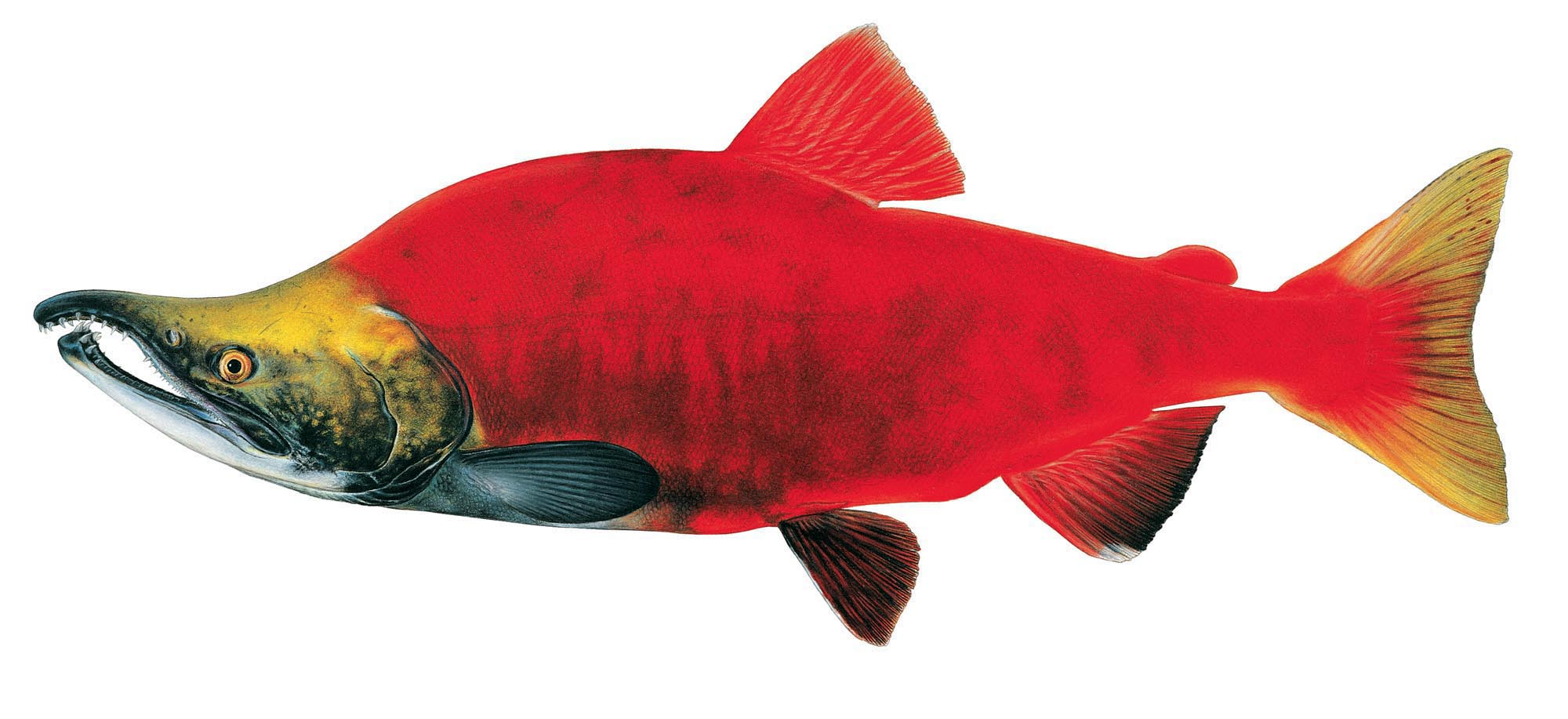 Washington state fish coloring pages