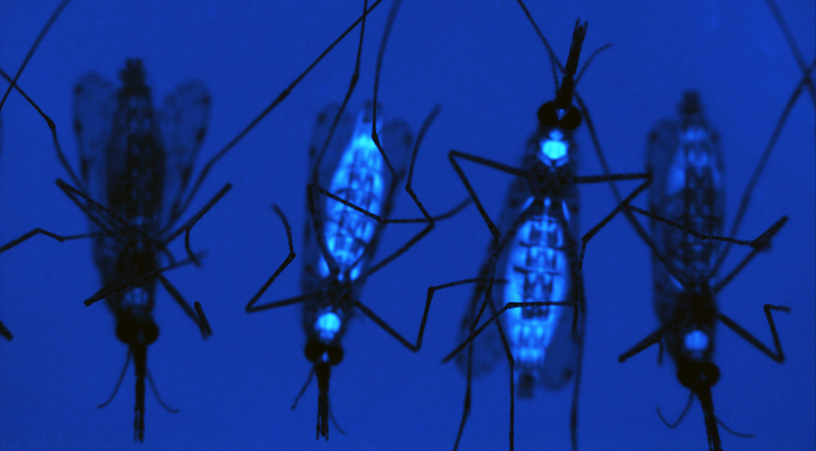 Transgenic female mosquitoes expressing a fluorescent protein (blue) and nontransgenic (no color). Image courtesy of A.A. James