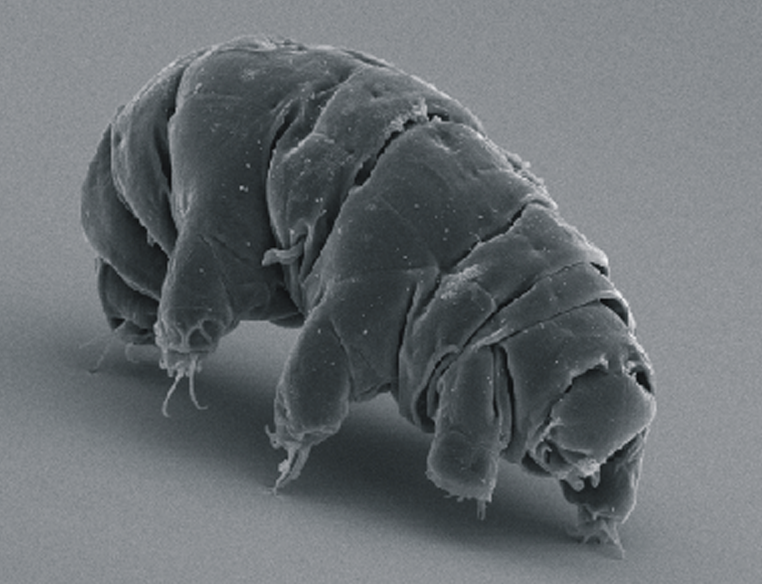 Milnesium tardigradum on the move. Image via doi:10.1371/journal.pone.0045682