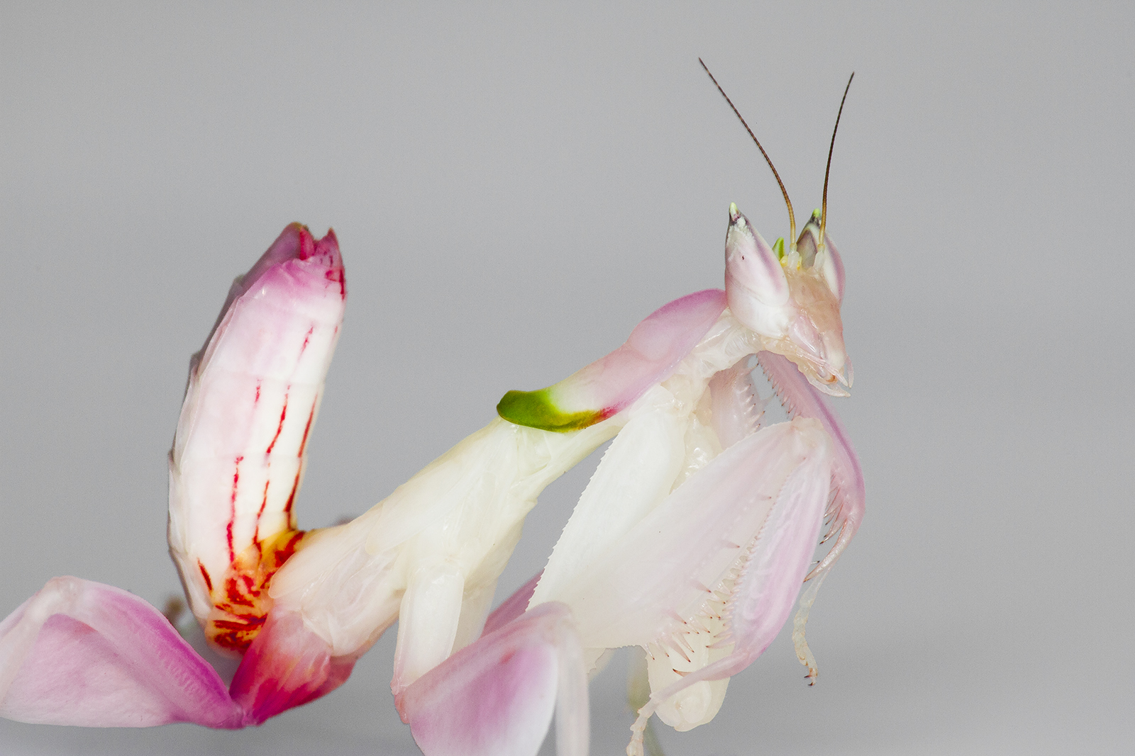 A juvenile orchid mantis. Photo by Frupus/flickr/CC BY-NC 2.0