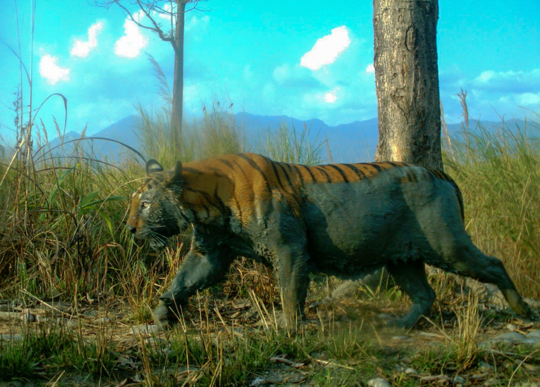 "This tiger has emerged from a cooling mud bath at Manas National Park in India. Researchers can identify individual tigers based on their unique array of stripes. Credit: WWF-India. Courtesy of ""Candid Creatures: How Camera Traps Reveal the Mysteries of Nature,"" by Roland Kays (May 2016, Johns Hopkins University Press"