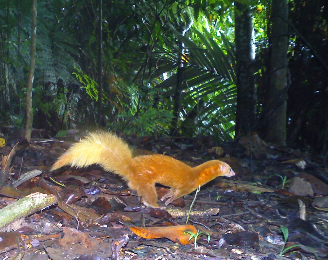 Image of: Specimen Collection Malay Weasel In Borneo Only Few Dozen Cameratrap Photos Of This Science Friday Selfies From The Animal Kingdom