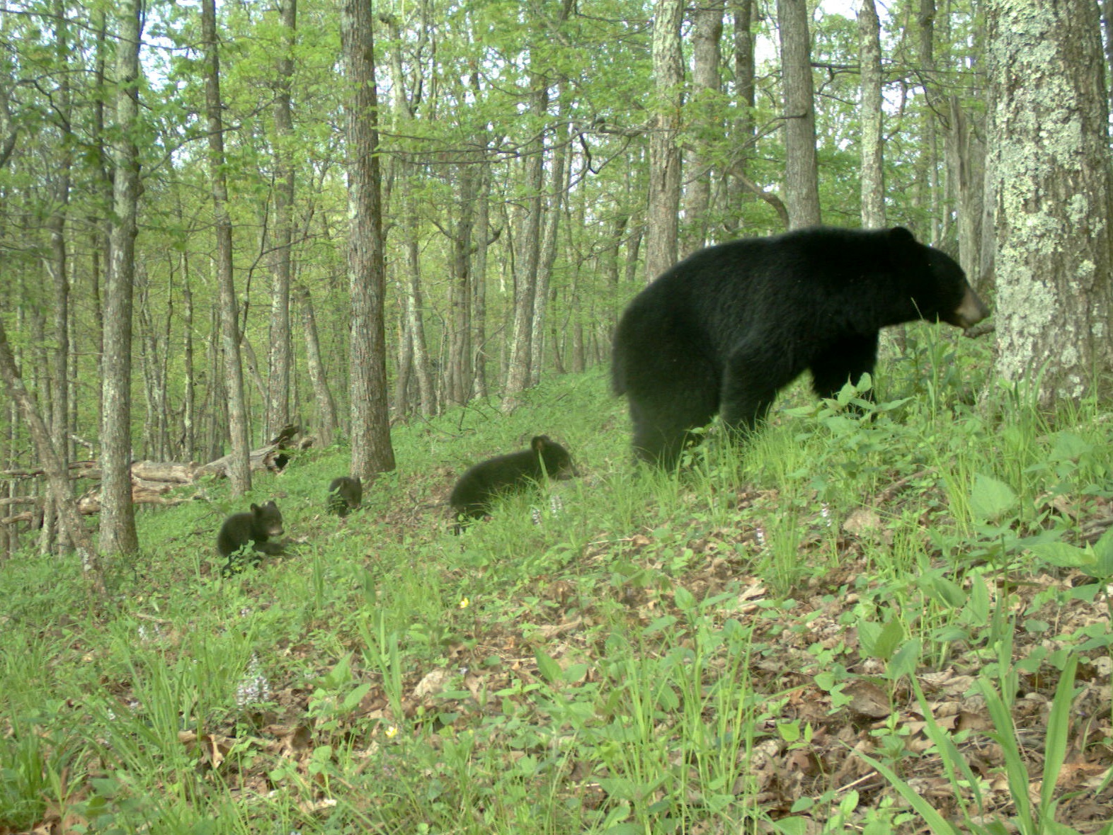 "In a survey of protected areas traversed by hunters and hikers, black bears were relatively uncommon in camera trap footage, with the exception of photos from Virginia's Shenandoah National Park. Credit: eMammal. Courtesy of ""Candid Creatures: How Camera Traps Reveal the Mysteries of Nature,"" by Roland Kays (May 2016, Johns Hopkins University Press)"
