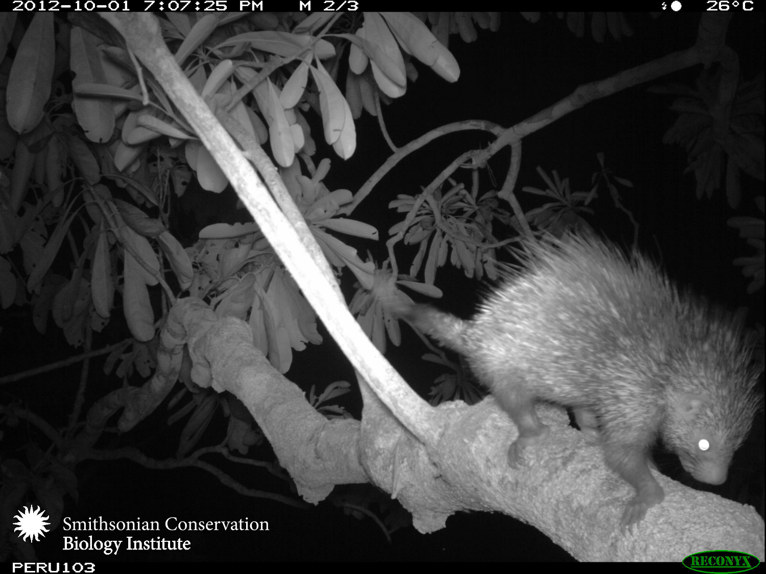 Arboreal camera traps in Peru captured this dwarf porcupine far outside its known range. Courtesy of Tremaine Gregory, et al/Smithsonian Conservation Biology Institute