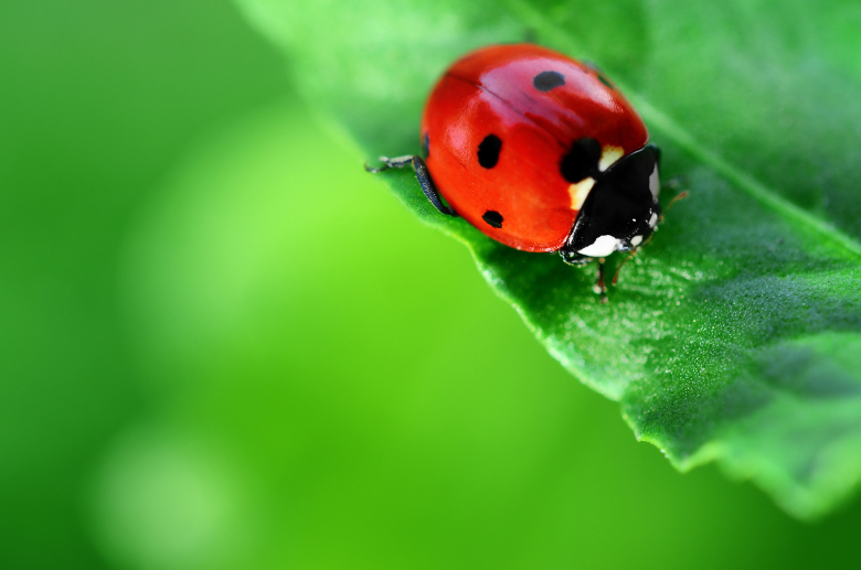 Ladybug on green leaf, from Shutterstock
