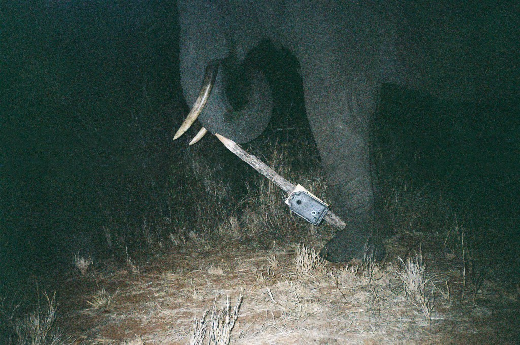 An elephant vandal tips over a camera trap. Image by T. O'Brien / M. Kinnaird / WCS and courtesy of Candid Creatures: How Camera Traps Reveal the Mysteries of Nature, by Roland Kays (May 15, 2016, Johns Hopkins University Press)