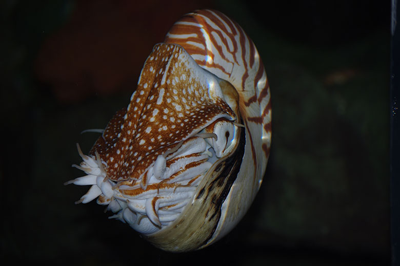 Nautilus. Photo by Jessie Owens.