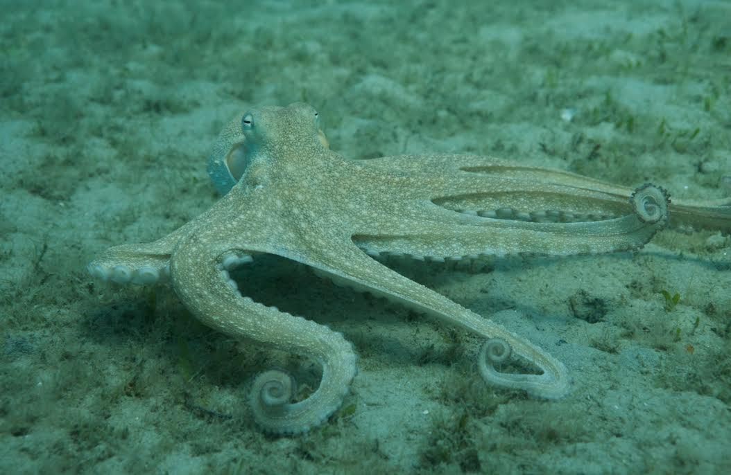 The common octopus (Octopus vulgaris). Photo courtesy of Roger Hanlon