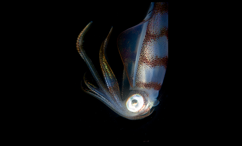 Squid. Photo by Klaus Stiefel