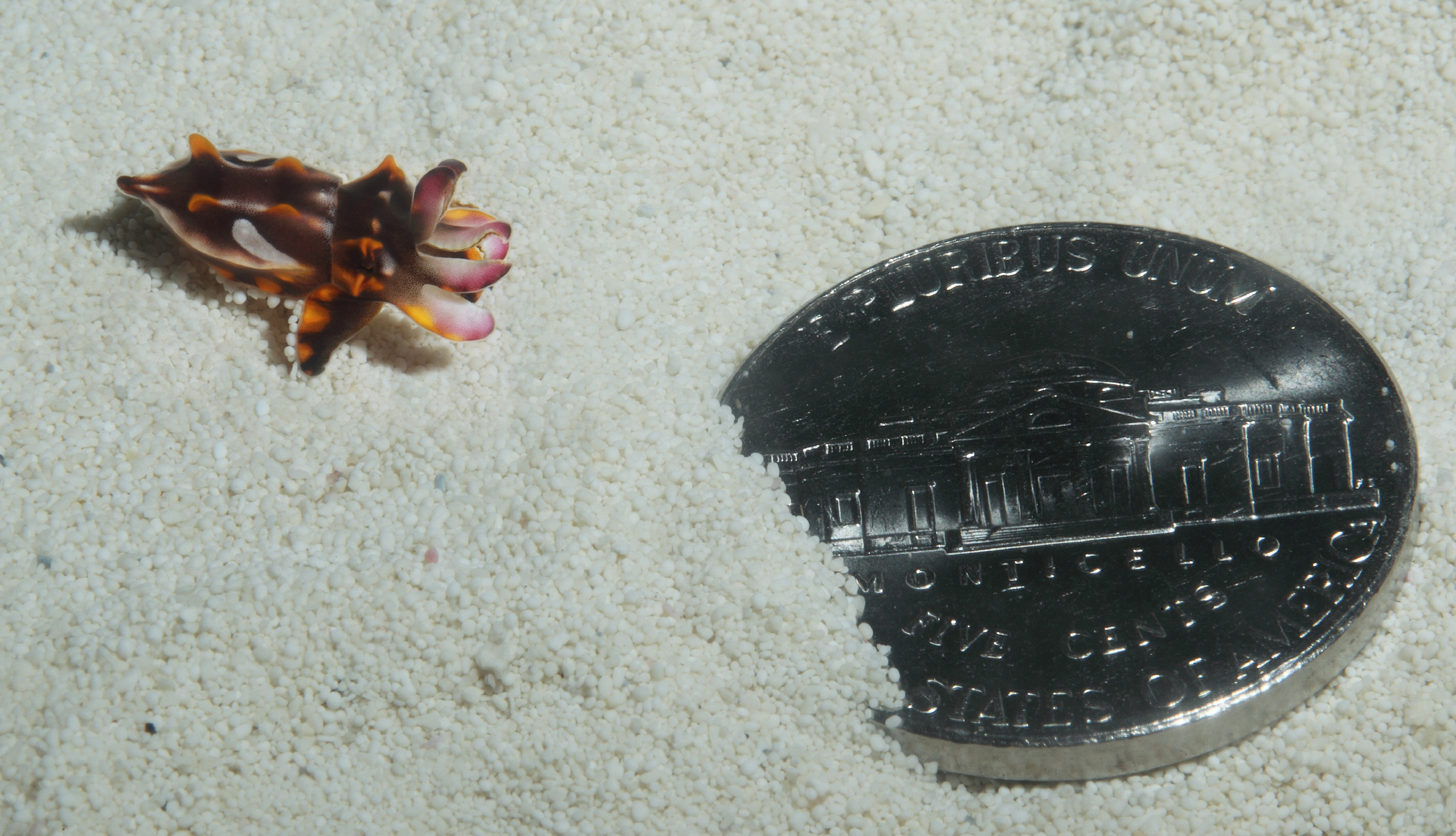 A juvenile flamboyant cuttlefish with a nickel coin for scale. © Monterey Bay Aquarium