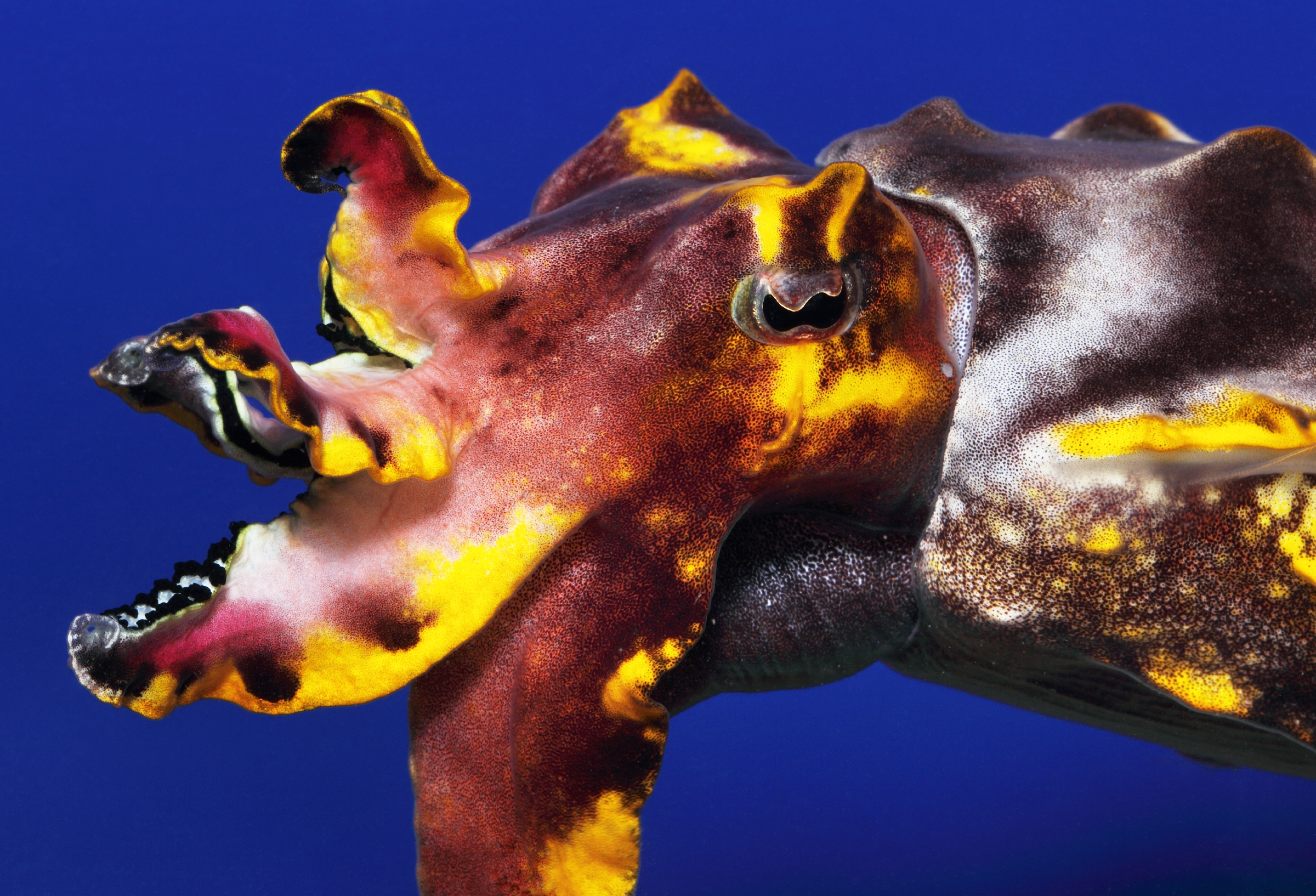 A close-up of a flamboyant cuttlefish. © Monterey Bay Aquarium