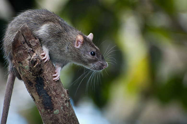 Brown Rat, from Shutterstock