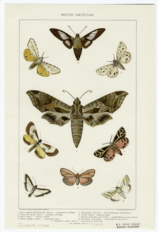 1. Salt-marsh caterpillar moth, 2. Humming-bird moth, 3. Arge moth, 4. Pearl wood-nymph, 5. Pandorus sphinx, 6. Tiger moth, 7. Melon caterpillar moth, 8. Striped footman, 9. Tobacco-bud moth. Via  New York Public Library