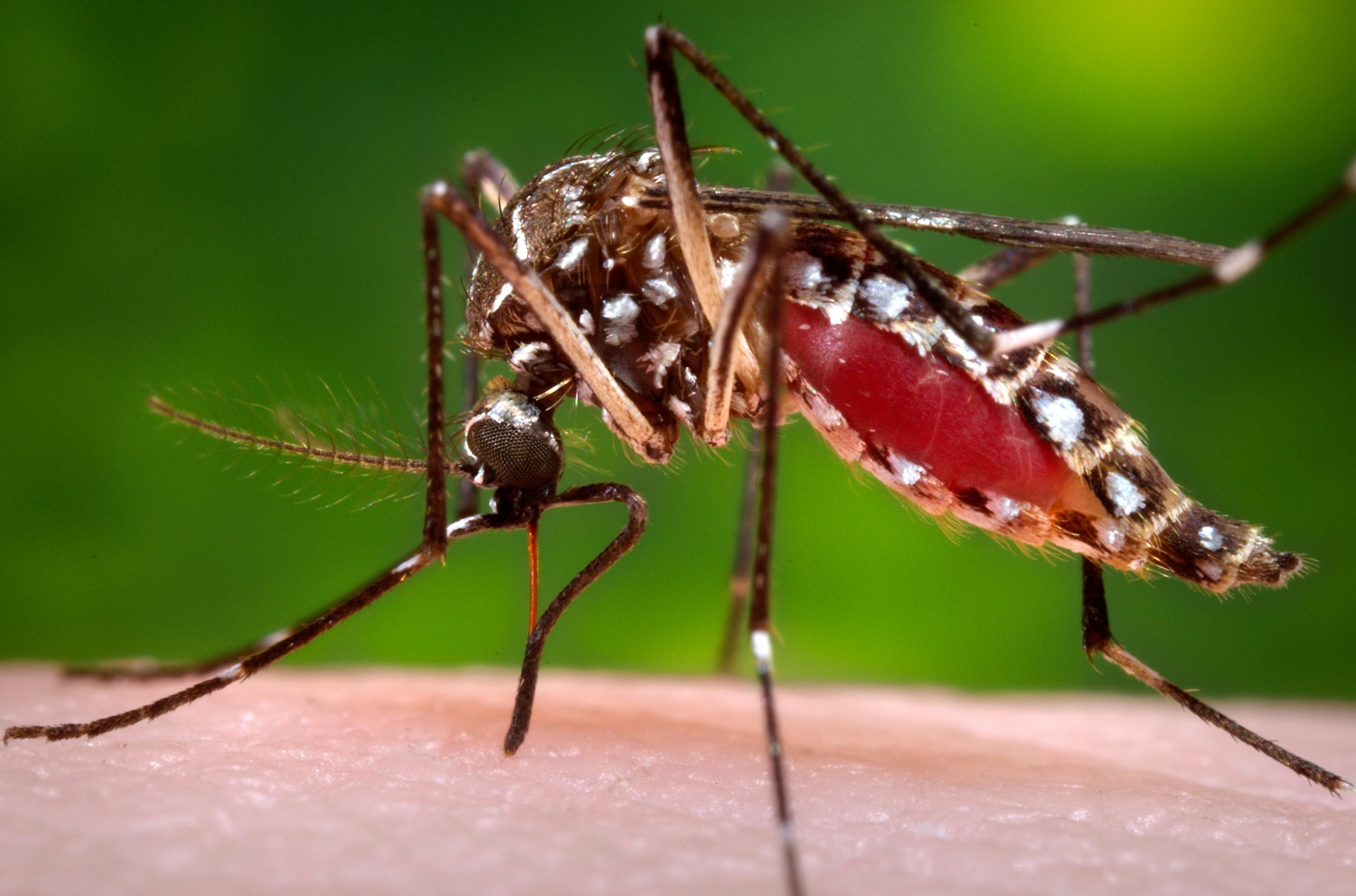 A female Aedes aegypti mosquito. Photo by James Gathany/CDC