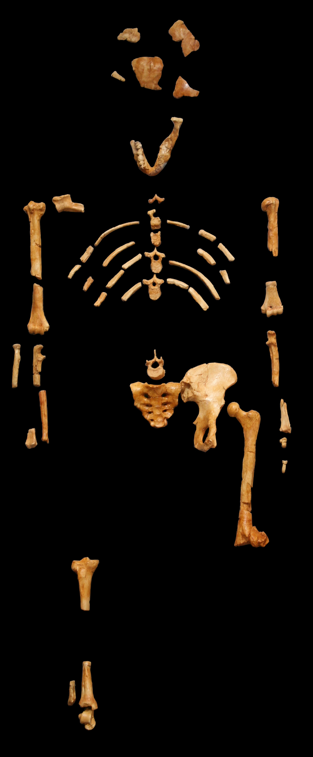 The skeleton of Lucy, an Australopithecus afarensis, photographed at the Museum national d'histoire naturelle, Paris, via Wikimedia