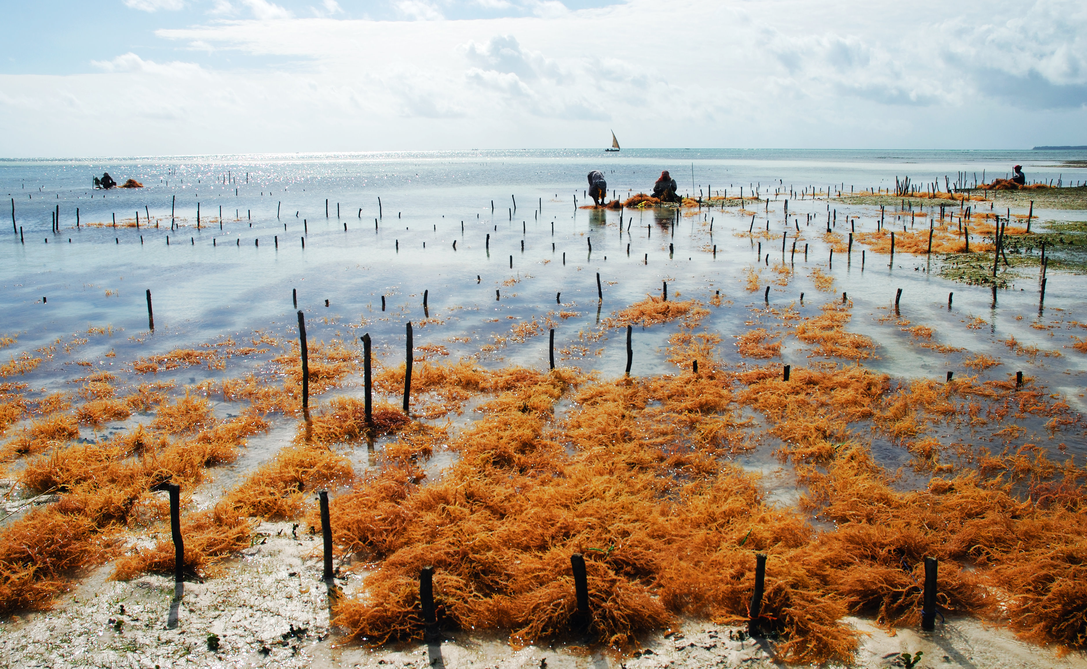 Seaweed farming at Uroa, a fishermen village in Zanzibar. Credit: Moongateclimber (Own work) [Public domain], via Wikimedia Commons
