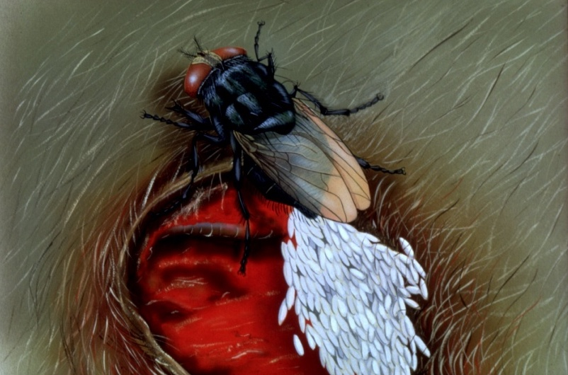 Illustration of screwworm blowfly (Cochliomyia hominivorax) laying eggs in an open wound. Credit: USDA