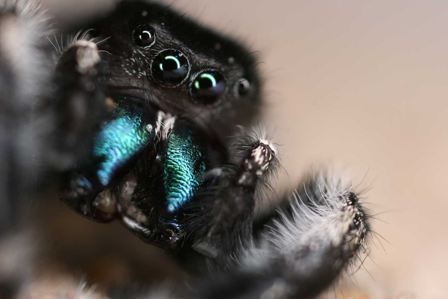 A jumping spider. Credit: Gil Menda and the Hoy lab