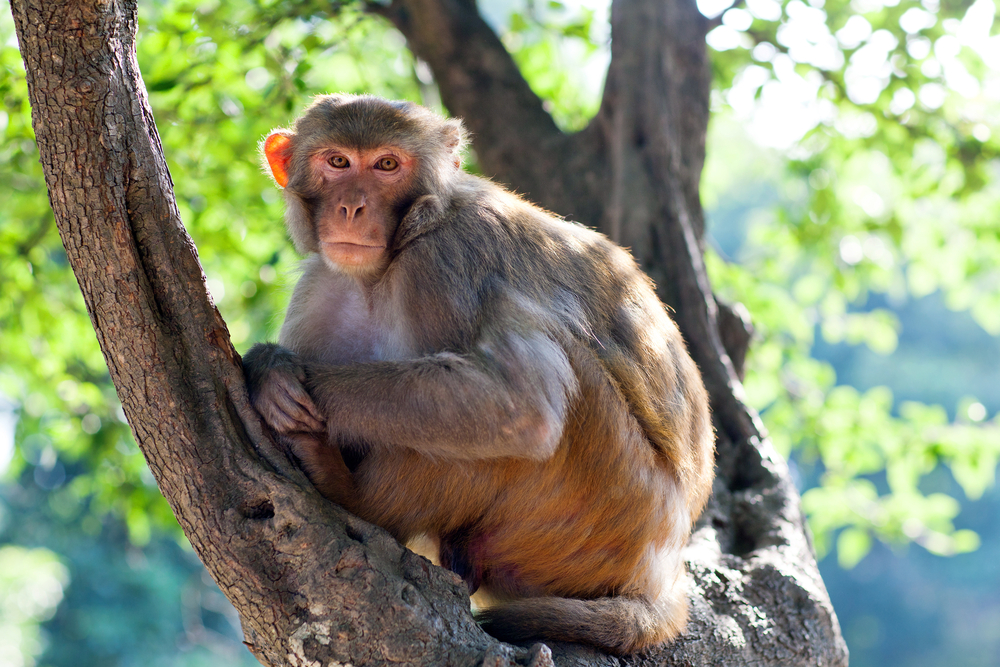 A rhesus monkey, the same species that was given the ability to walk again, thanks to a spinal cord implant. Credit: Shutterstock