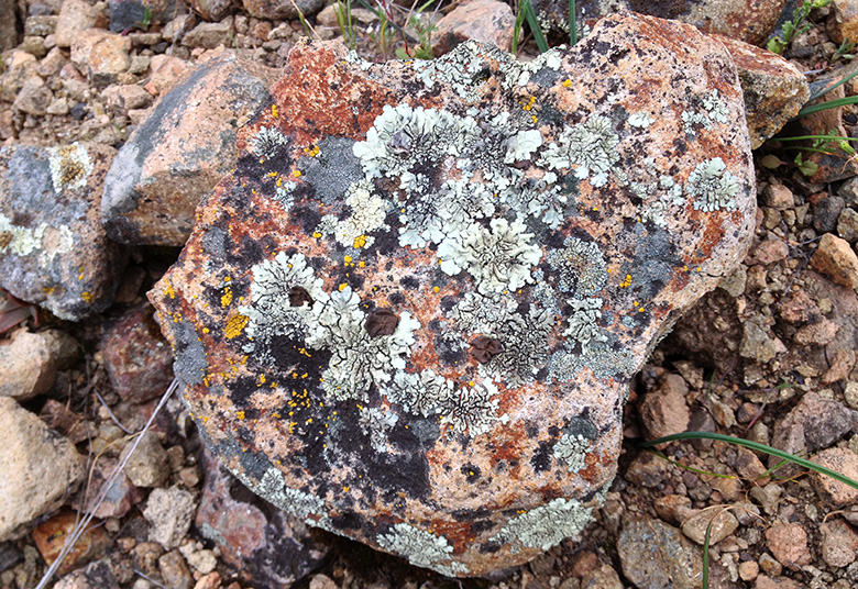Lichen has grown on this chunk of granite. By Churnice (Own work) [CC BY-SA 3.0 (http://creativecommons.org/licenses/by-sa/3.0)], via Wikimedia Commons