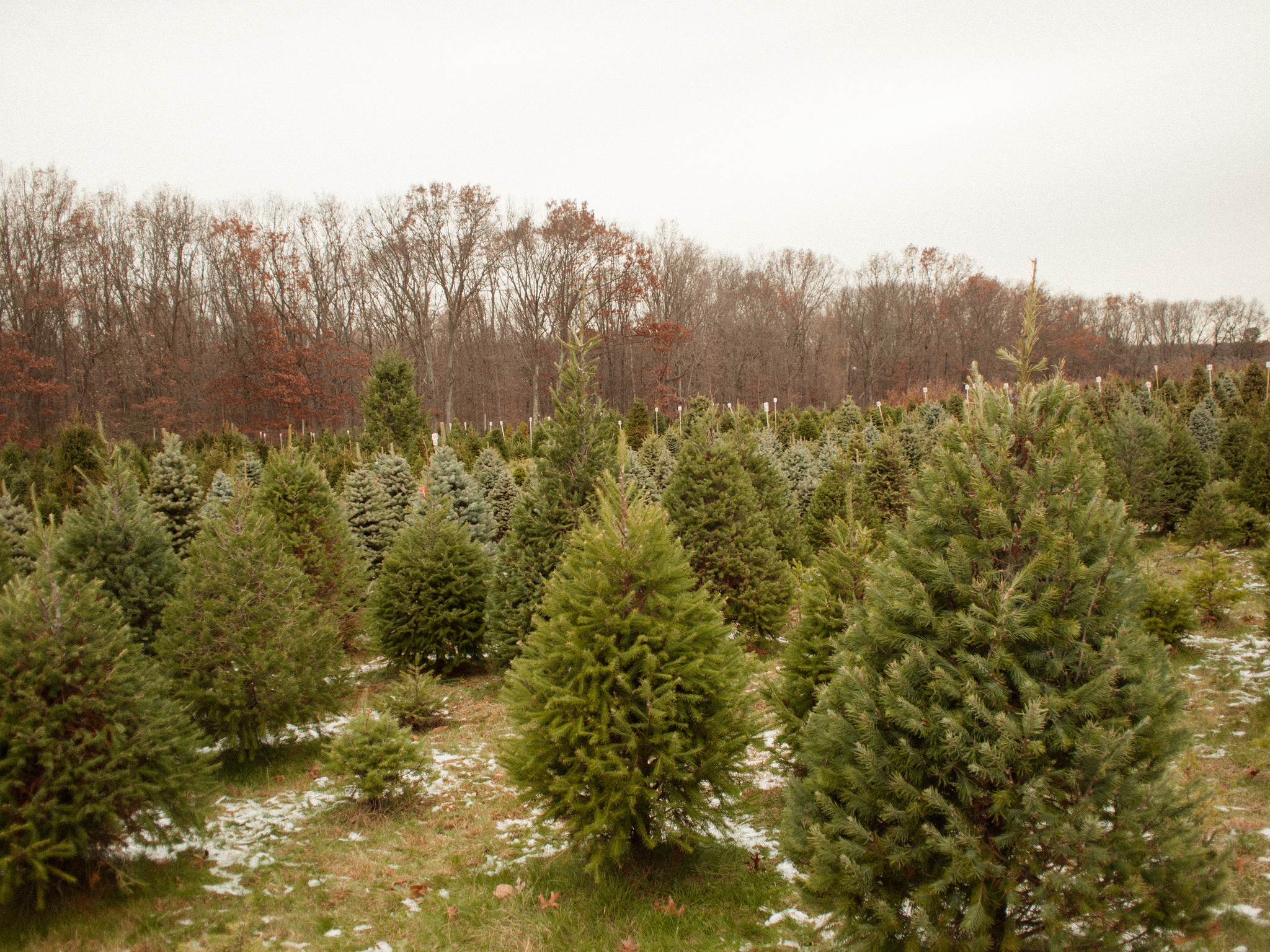 Christmas trees. Photo by Tom Simpson/flickr/CC BY-NC-ND 2.0