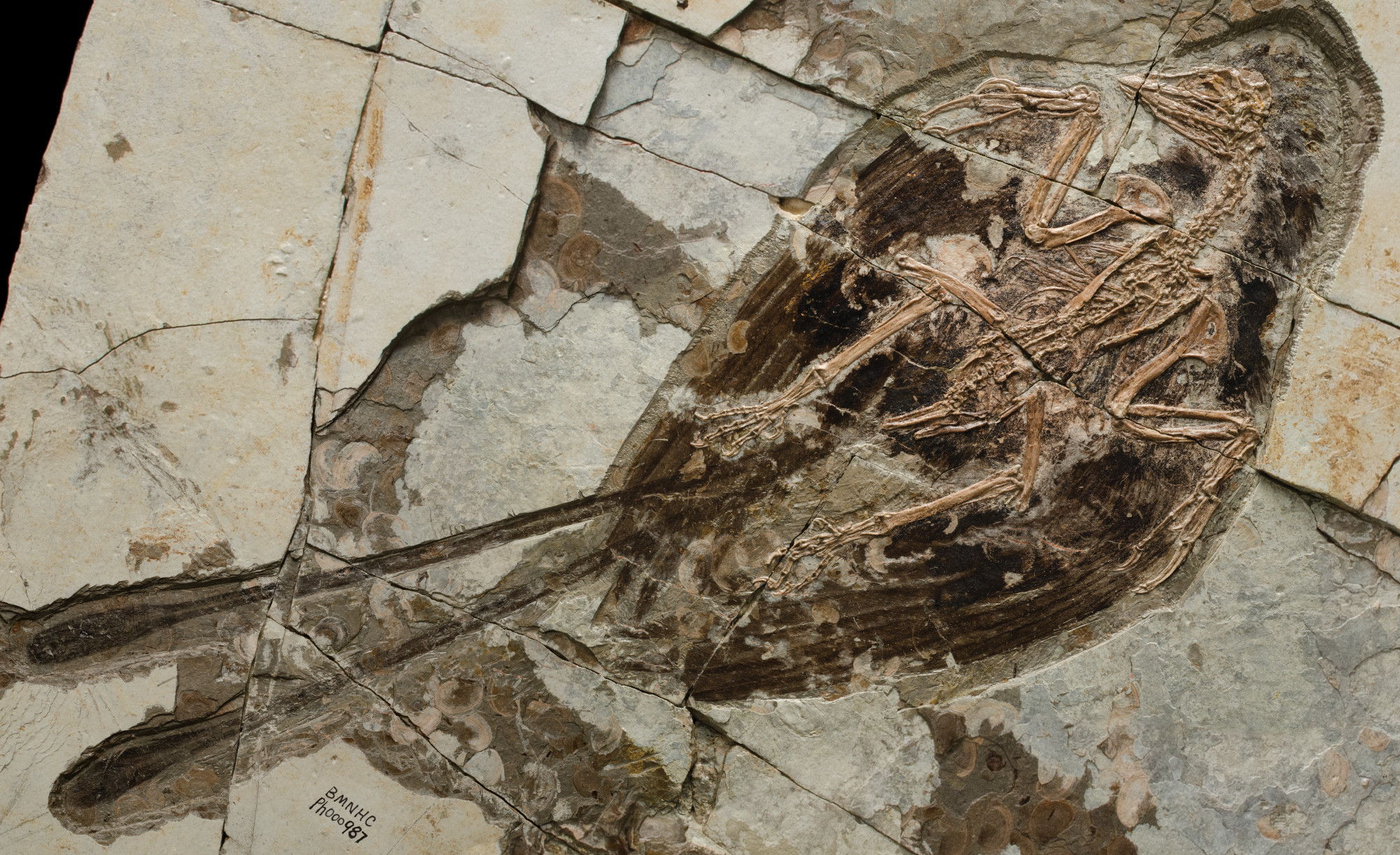"Confuciusornis sanctus is the most primitive example of a beaked bird. A defining feature in many of its fossils is a pair of extremely long feathers. The fact that some C. sanctus fossils don't sport these plumes suggests that they're a male sexual trait used in courtship. Photo by Stephanie Abramowicz, from ""Birds of Stone"""