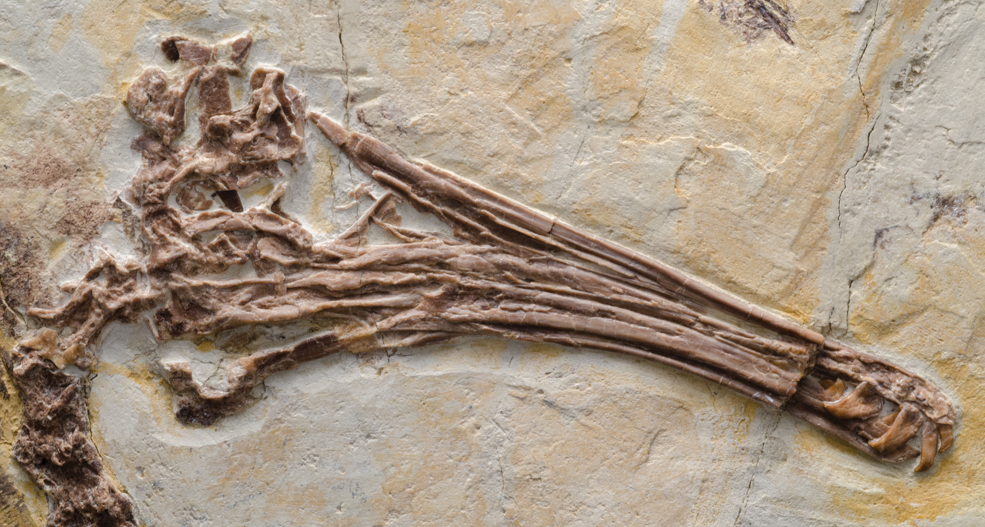 "Like modern birds, the Jehol enantiornithine birds showed lots of variation in the shape and size of their skulls. For instance, Longipteryx chaoyangensis had an elongated snout with large teeth—the better to catch fish. Photo by Stephanie Abramowicz, from ""Birds of Stone"""