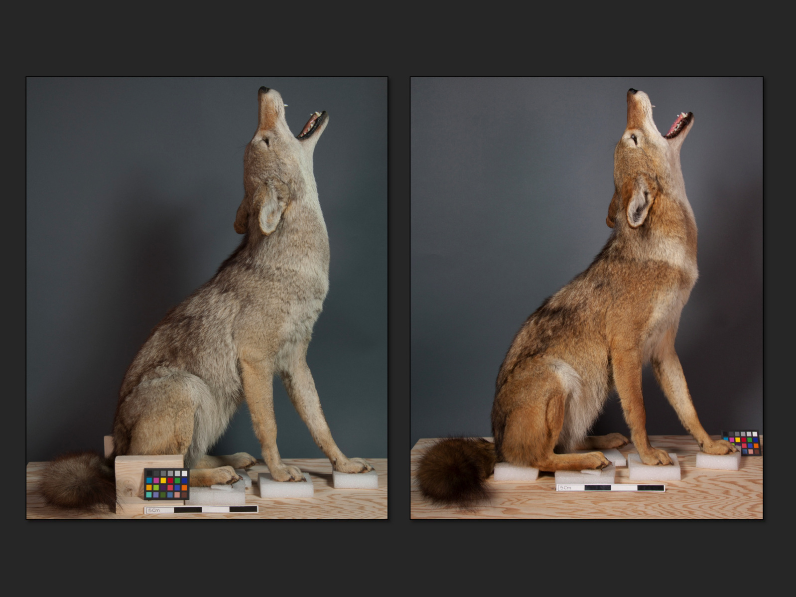 Coyote, before and after recoloring. Credit: ©Julia Sybalsky and Bethany Palumbo