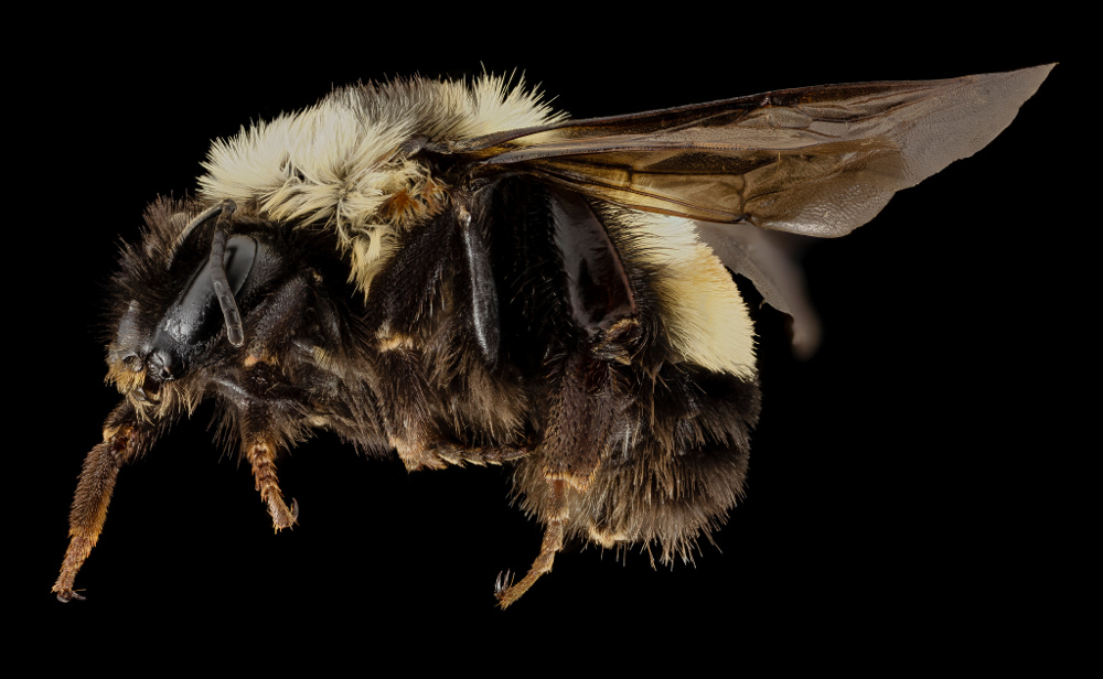 A rusty patched bumblebee (Bombus affinis). Credit: USGS Bee Inventory and Monitoring Lab