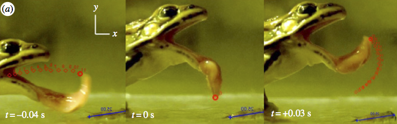 Attempted prey capture in Rana pipiens. Red dots indicate tracking of tongue tip. Credit: C. Hobbs