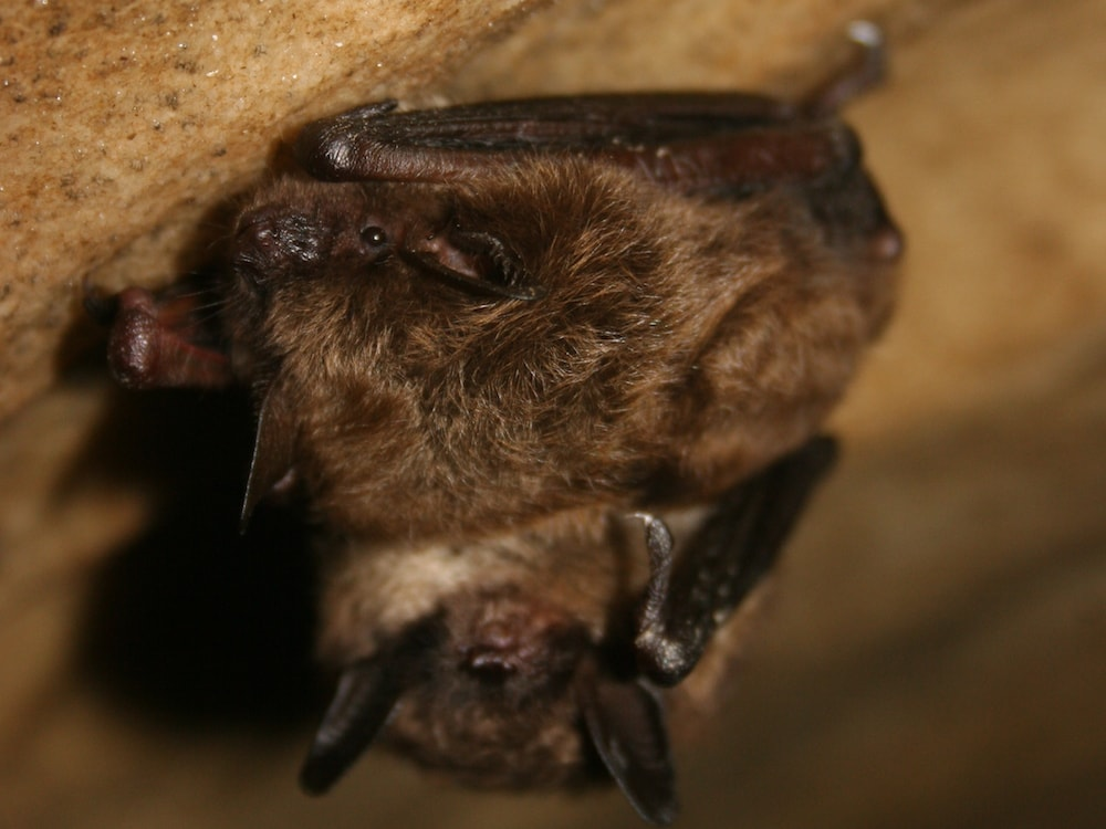 two little brown bats hanging in Mt. Aeolus Cave