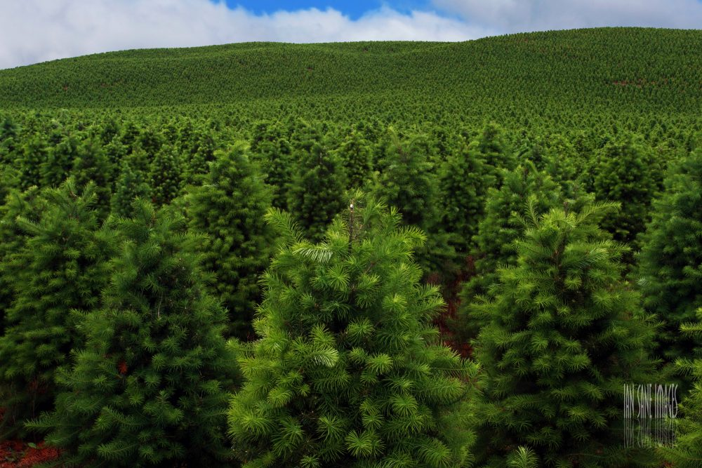 Oregon Christmas Trees.A Christmas Tree Grows In Oregon Science Friday