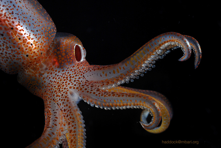 picture of the week: cock-eyed squid
