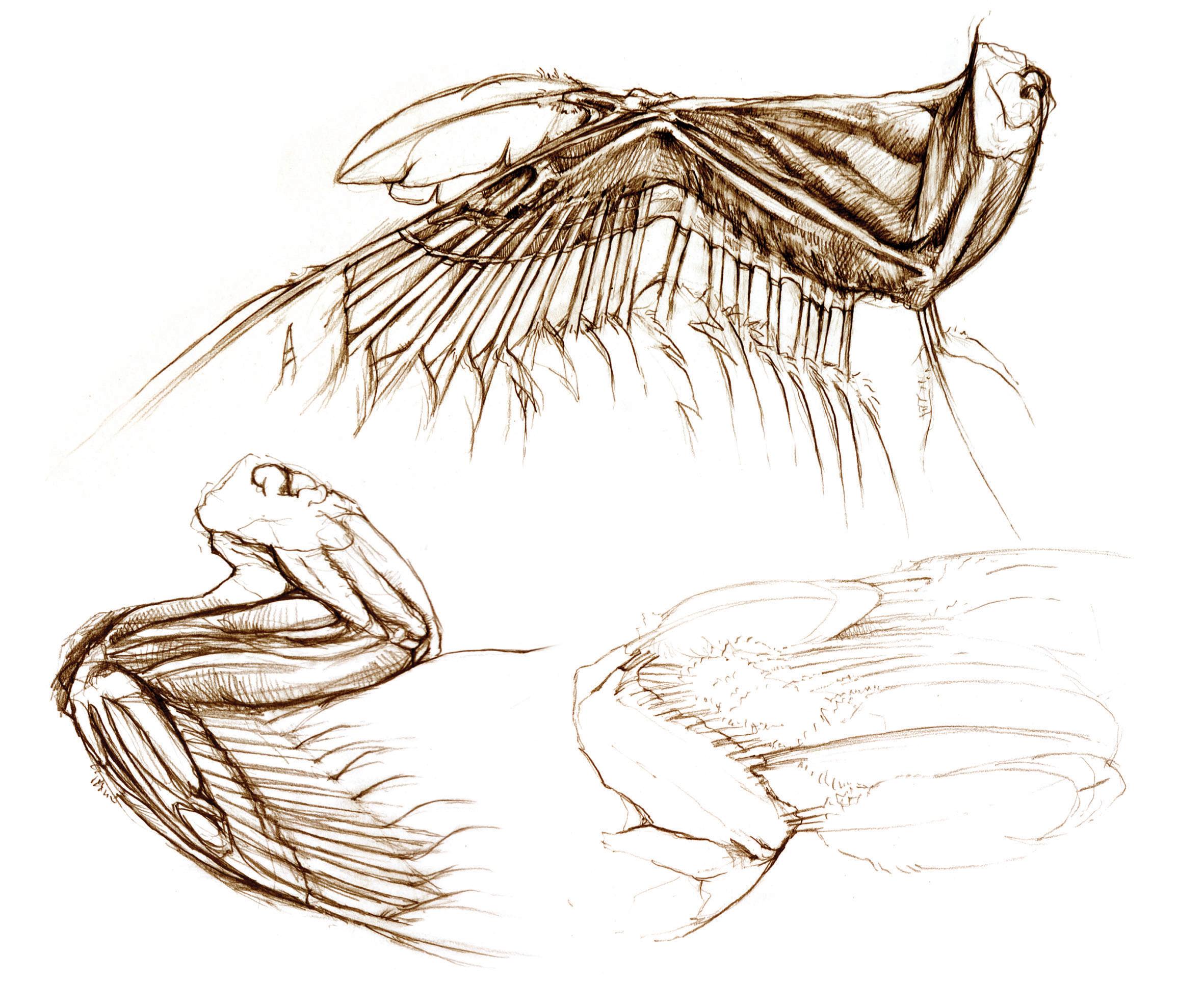 bird wings anatomy - HD2362×1973