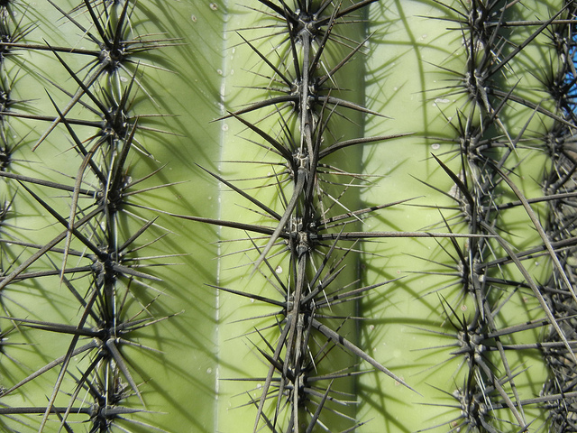 11 Things You Didn\'t Know About Saguaro Cacti - Science Friday