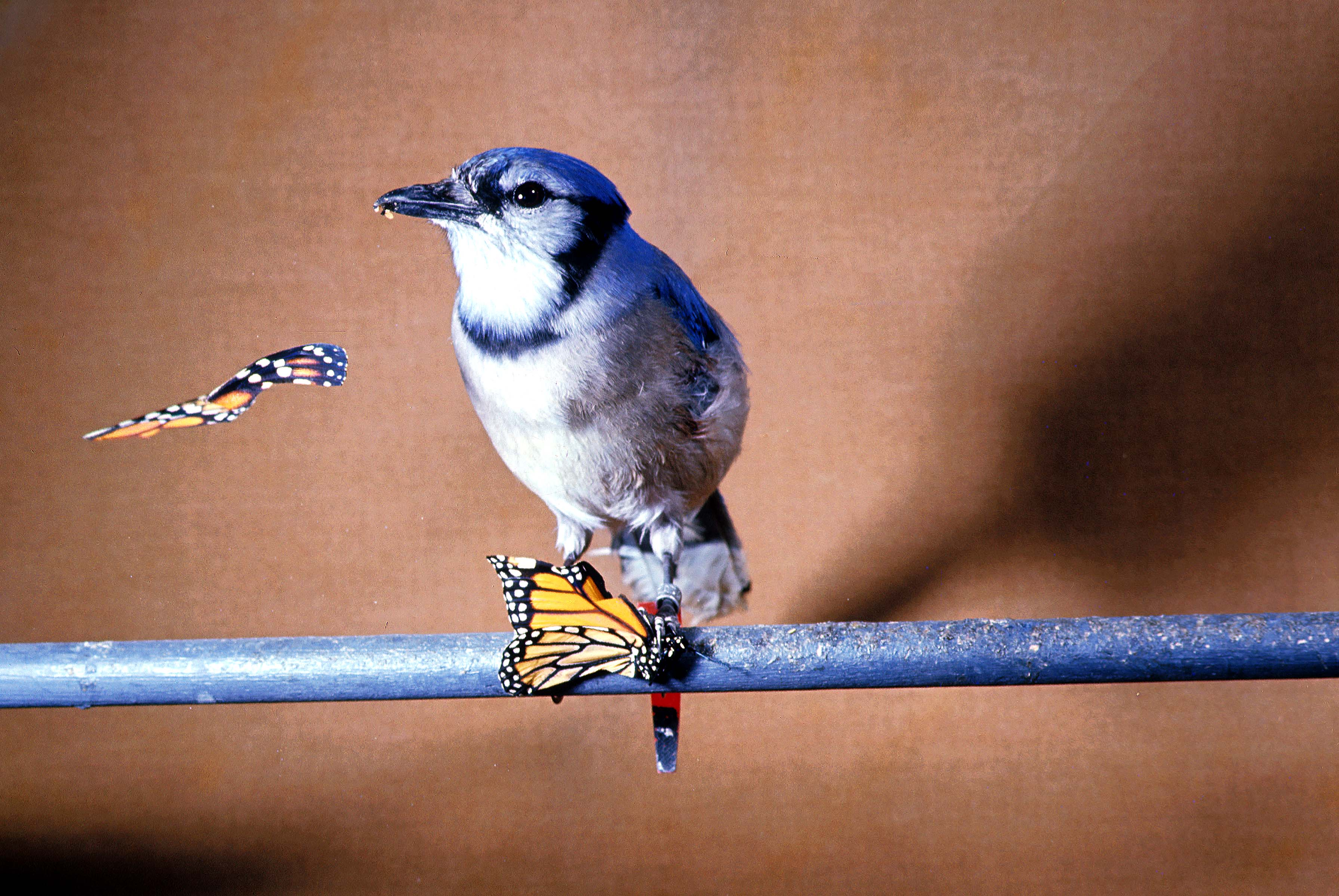 A Naive Blue Jay Is Offered Monarch That Contains Cardiac Glycosides D From The Milkweed
