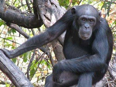 Tia, a female chimp